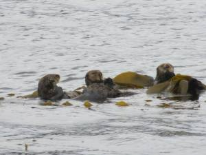 Sea Otters in Ketchikan