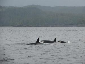 Orca Whales in Ketchikan