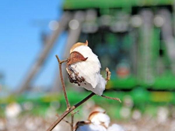 cotton bowl at harvest DeltaFarmPress.com