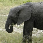 Young Elephant Eating - Tarangire National Park