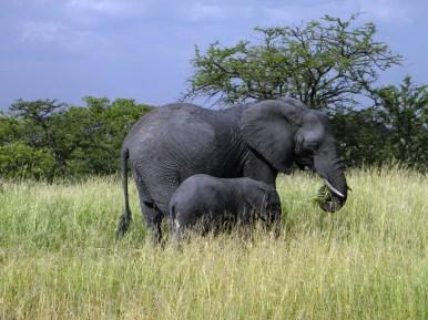 Mother and Young Elephant - Tarangire National Park