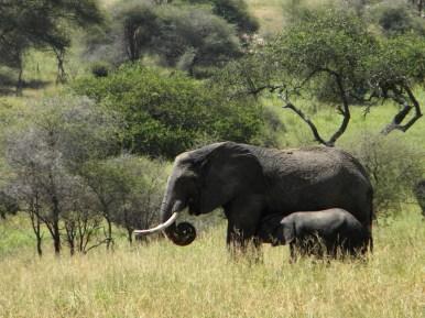 Mother and Nursing Elephant - Tarangire National Park