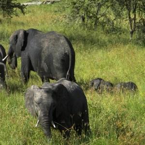 Elephant Twins - Serengeti National Park