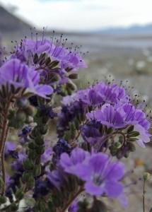 Death Valley Wildflower Bloom