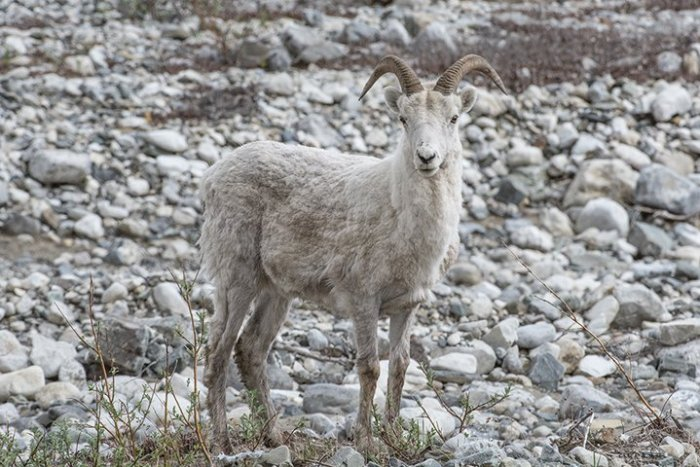 Dall Sheep, photograph by Michael Fuchs