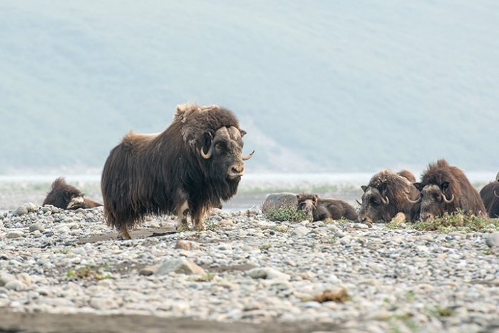 Musk Ox, photograph by Michael Fuchs