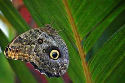 a Paper Kite butterfly from south east Asia