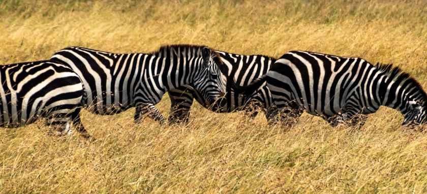 A line of zebras