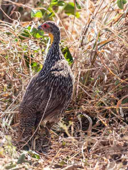 yellow necked spur fowl