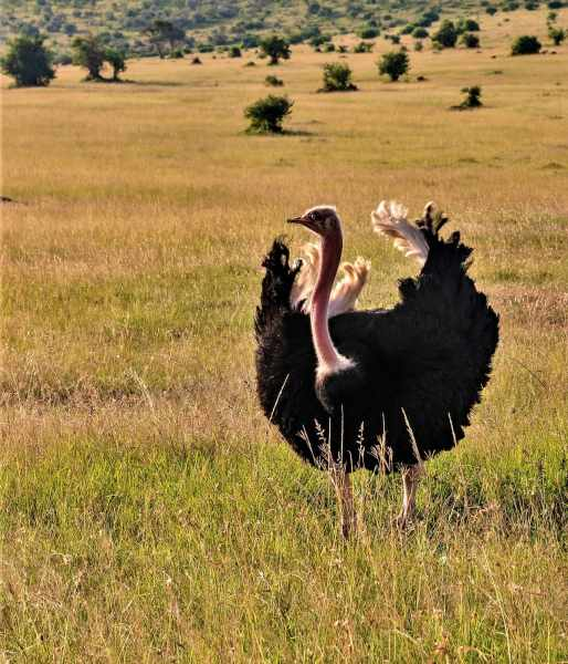 Male ostrich doing mating display
