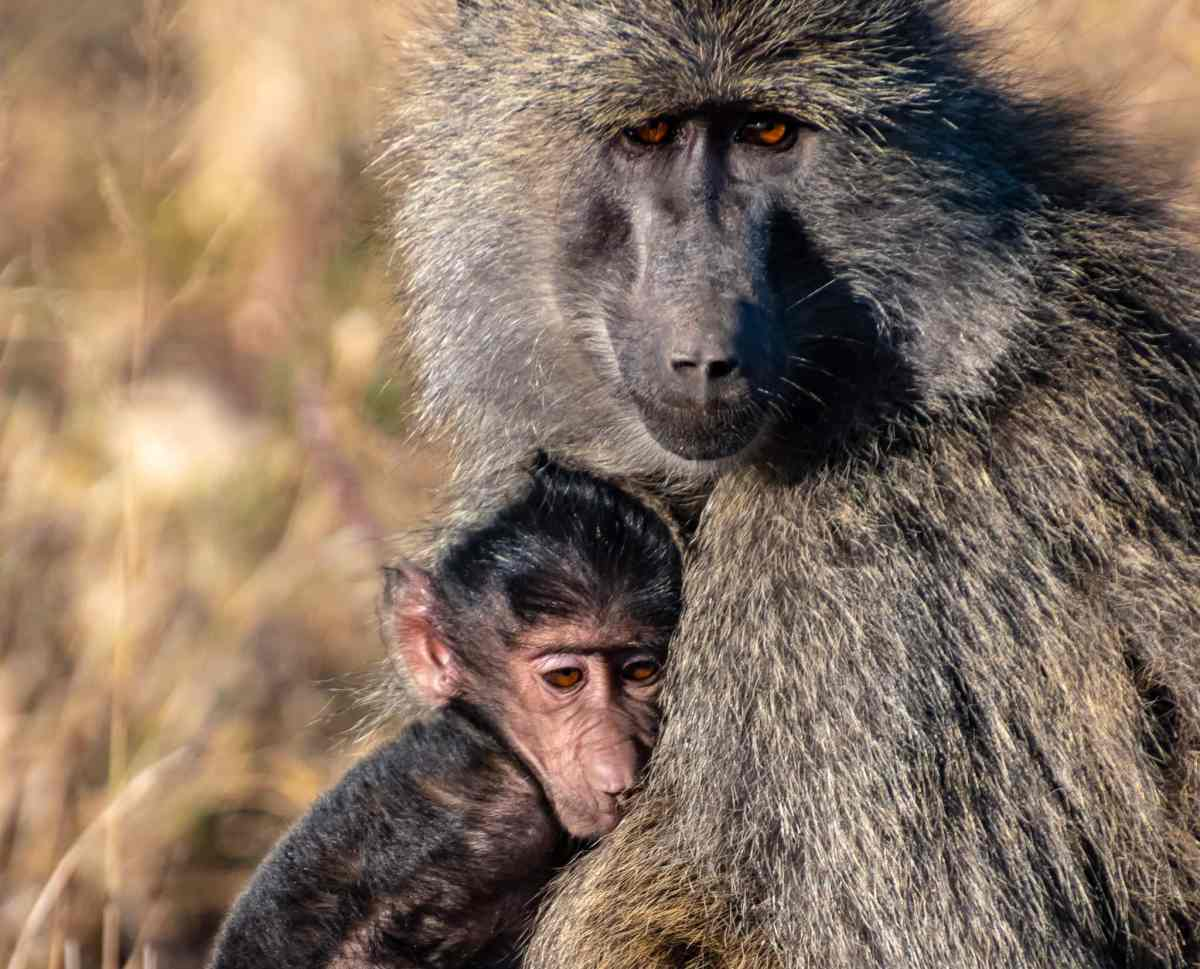 A mother and baby olive baboon