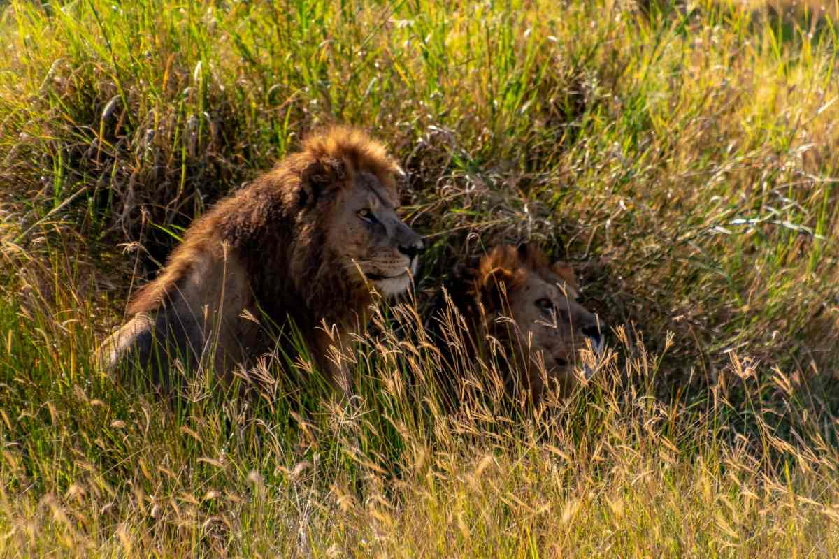 Two male lions in the Serengety