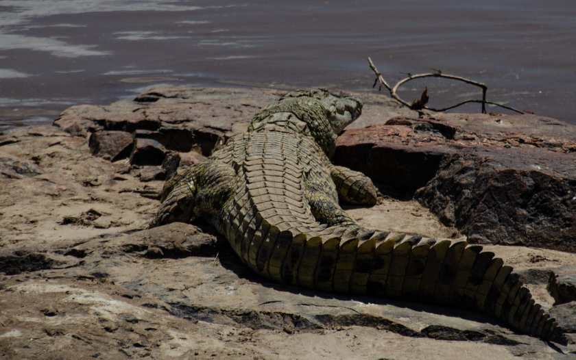 crocodile on the banks of the Mara river