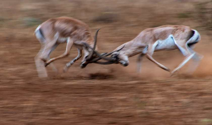 Grant's Gazelle fighting