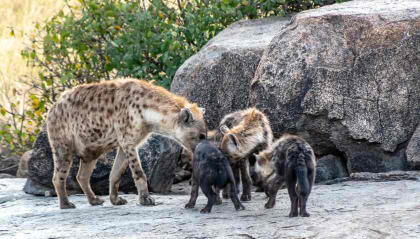 spotted hyena den