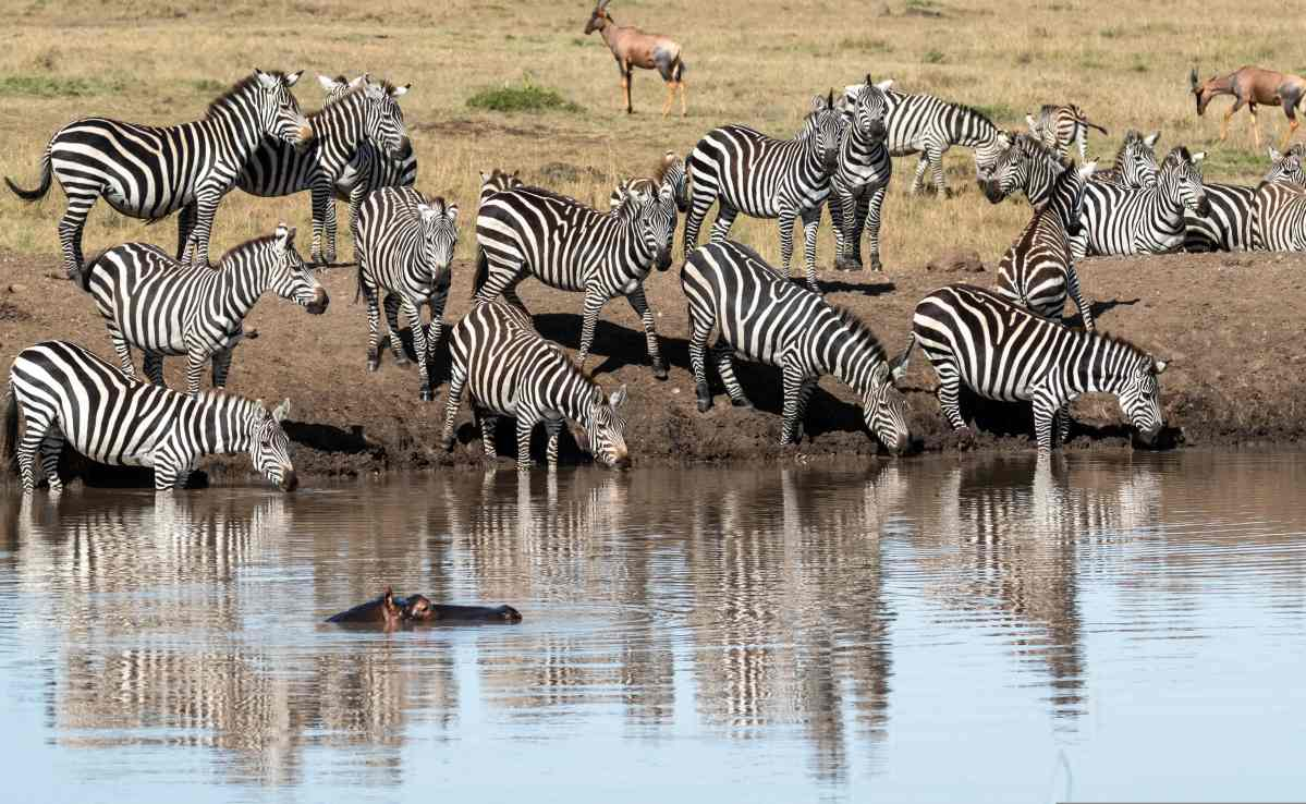 zebras getting a drink
