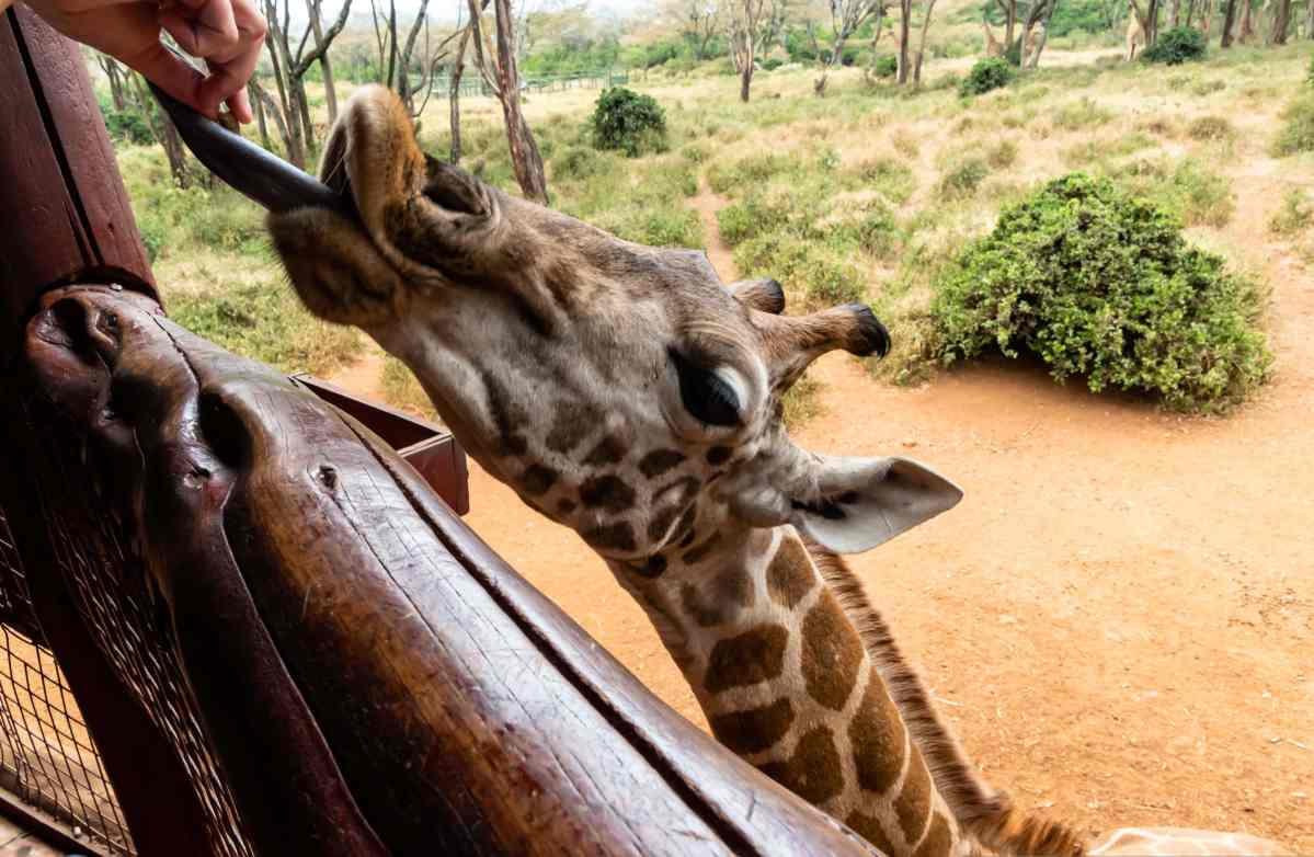 PhotoPOSTcard: A Close Encounter of the Giraffe Kind