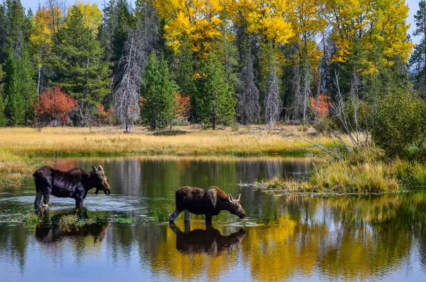 A mother moose and juvenile