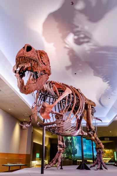 A T rex named Sue at the Field Museum