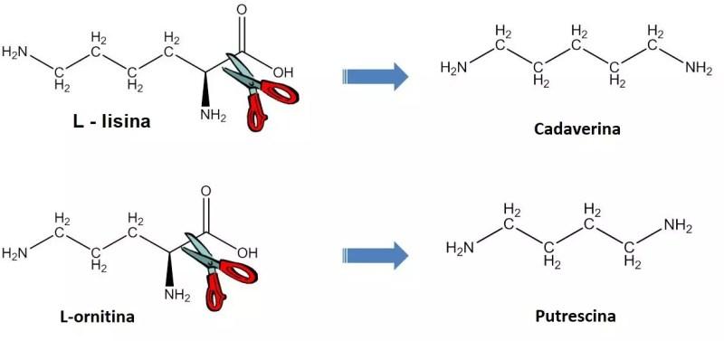 Reacciones de biosíntesis para la producción de cadaverina y putrescina altamente simplificado