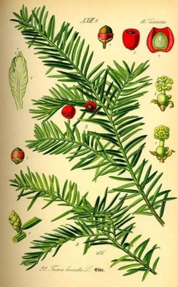 Taxus brevifolia