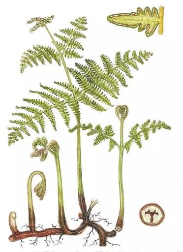 Báculos, frondas, rizomas de helecho Pteridium