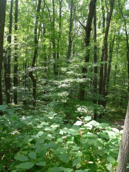 Laurel highlands woodland