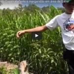 Agroflorestar, Manejo do Capim elefante e margaridão em área de 1 ano- vídeo