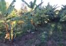 Meus Canteiros Agroflorestais, 1 ano depois, manutenção e aprendizados