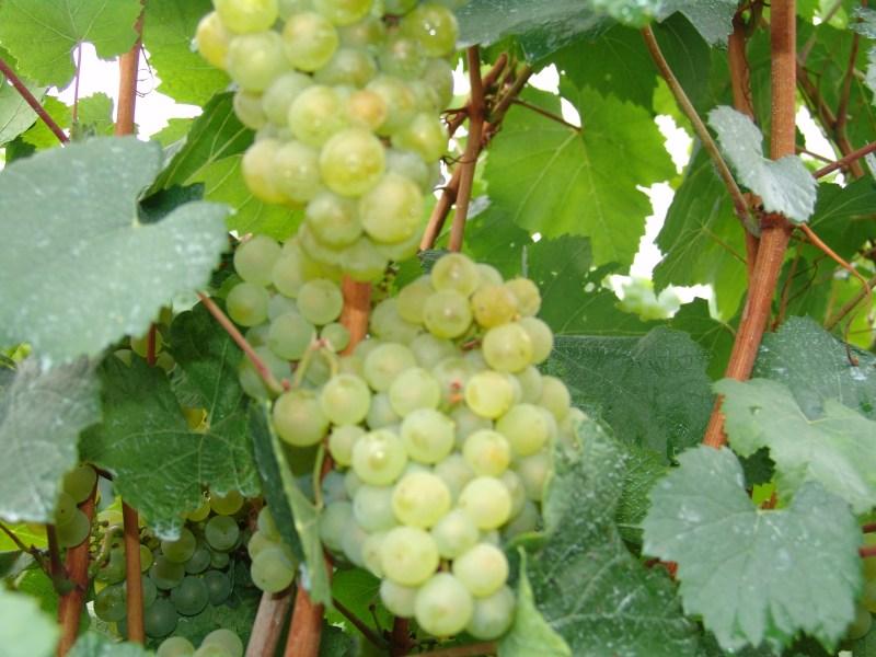 Uva casta chardonnay