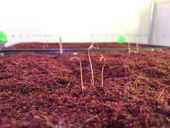 キヌア栽培施設:発芽