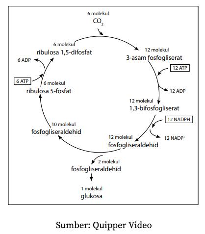 Fotosintesis Reaksi Gelap Biologi Kelas 12 K13 Revisi Quipper Blog