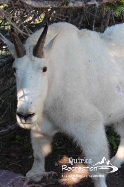 White mountain goat standing near a boardwalk