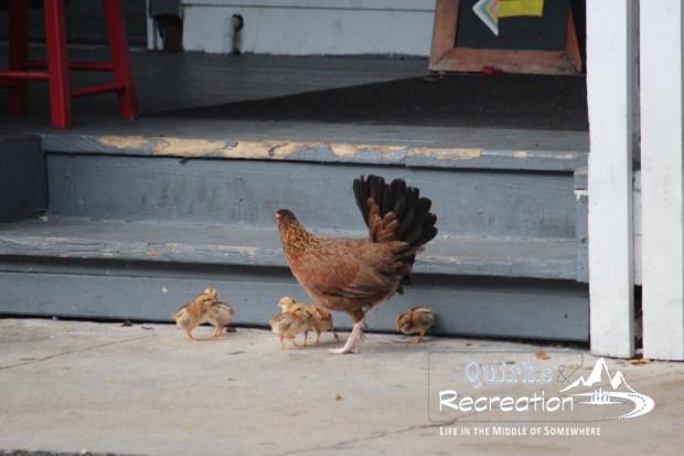 gypsy chickens of Key West, Florida