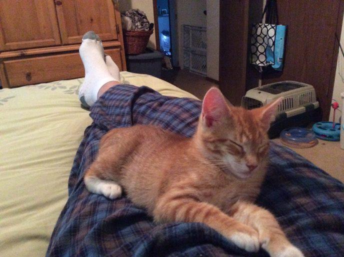 Orange tabby cats sleeping on lap