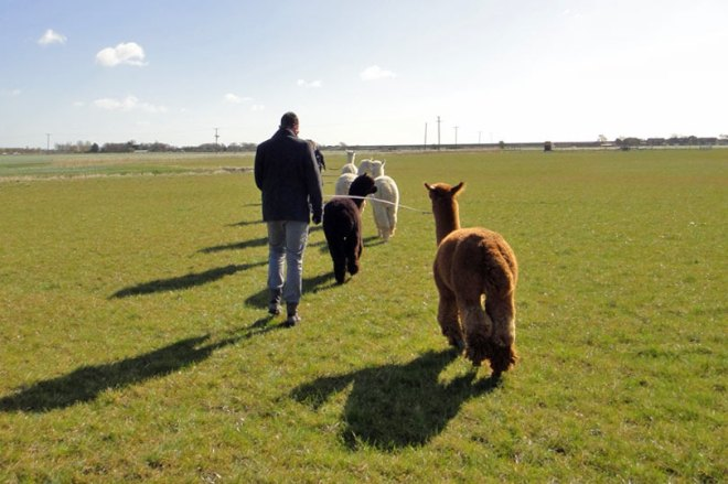 Just taking our alpacas for a walk. No big deal.