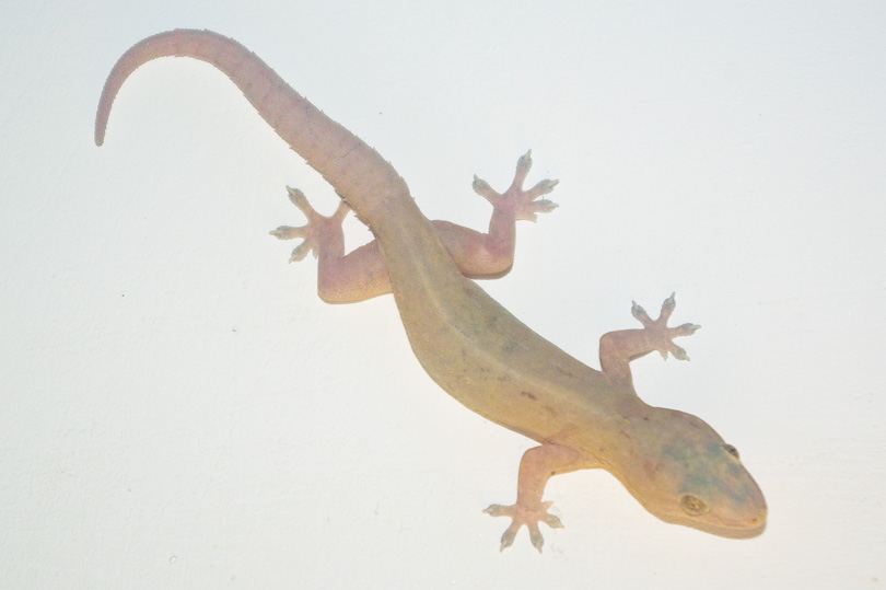 Sri Lankan lizard on a wall