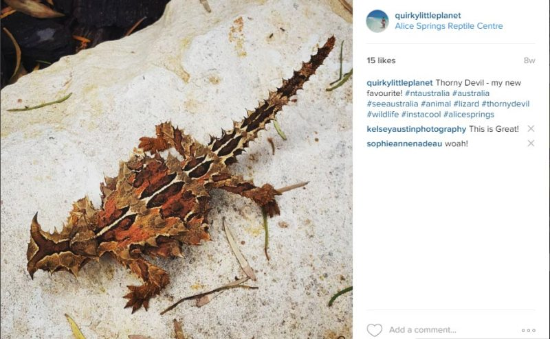Thorny Devil in Australia