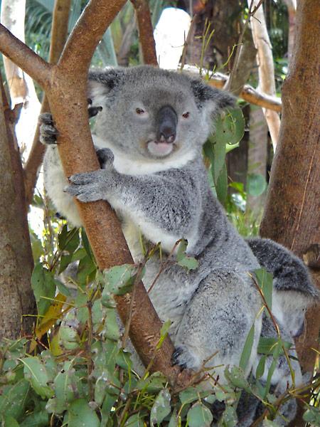 Koala at Australia Zoo