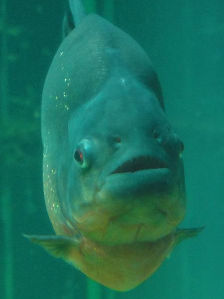 Piranha at the aquarium