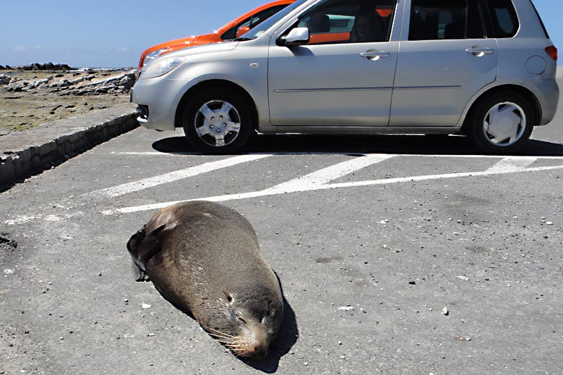 Funny seal thinks its a car!