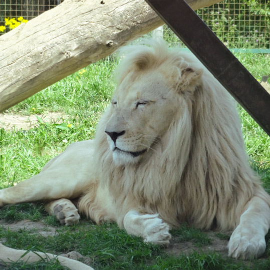 Handsome white lion at the Wildlife Heritage Foundation in Kent