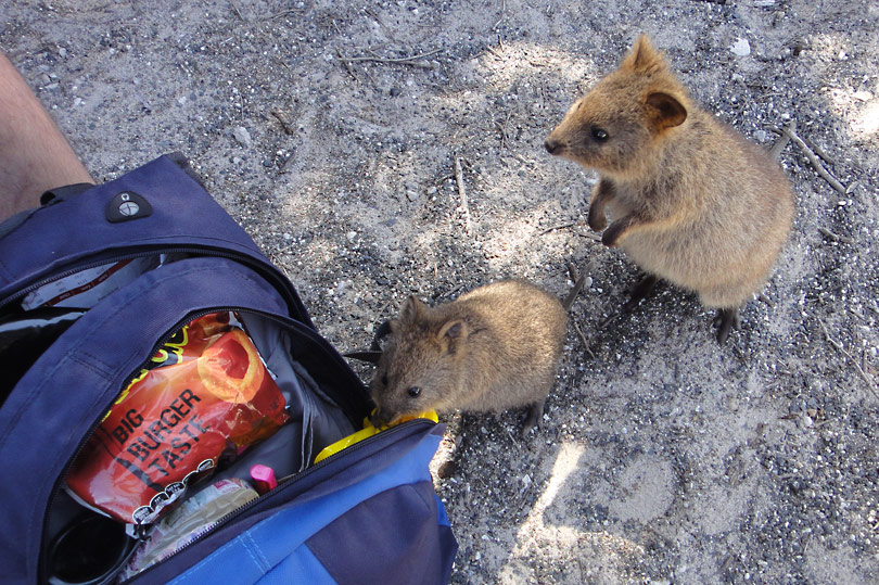 Quokkas having a nose in our bag