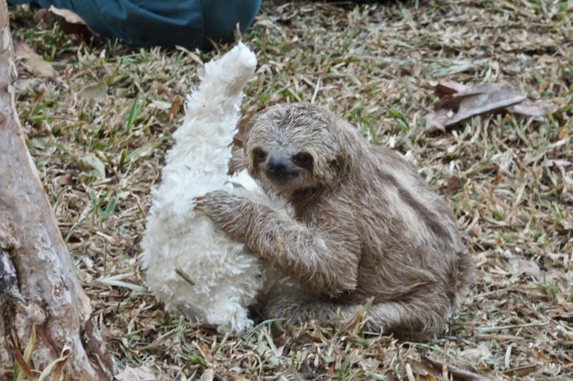 A baby three-toed sloth being rehabilitated at a wildlife rescue centre in Costa Rica