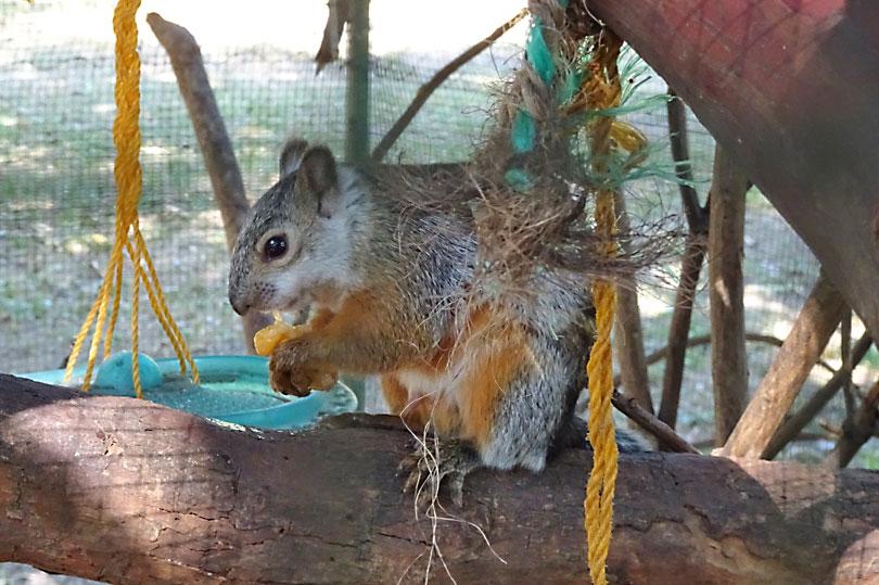 Squirrel at a rescue centre in Costa Rica