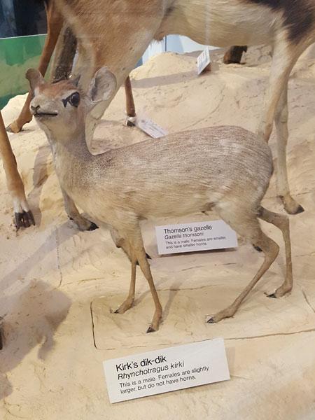Kirk's Dik Dik - Natural History Museum