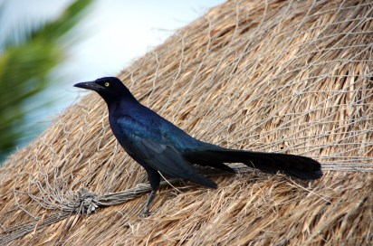 grackle roof