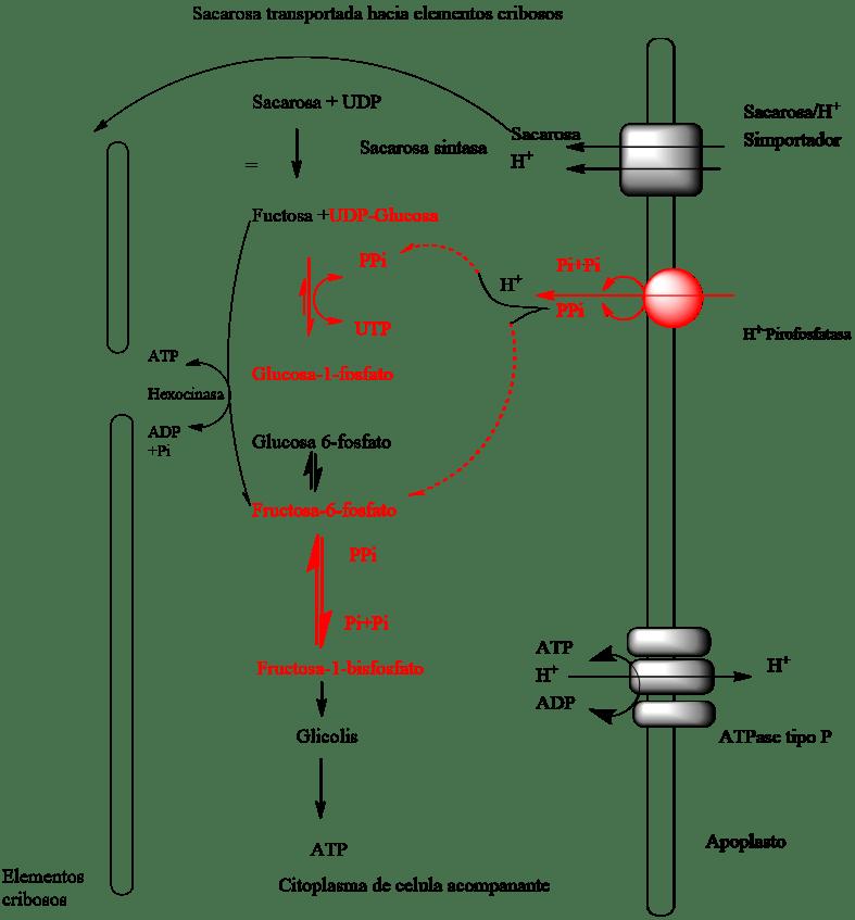 Modelo que explica la función de la H+-PPase en la membrana plasmática de células acompañantes:  Las proteínas transportadoras de H+/Sacarosa  localizados en la membrana plasmática de  las células acompañantes toman la sacarosa directamente del apoplasto.  Una porción de esta sacarosa es destinada al transporte  a larga distancia a través de los elementos cribosos, mientras que otra parte es oxidada para energizar el floema. La H+-PPasa localizada en la membrana plasmática de  las células acompañantes utiliza la fuerza motriz protónica para sintetizar pirofostato.  Por otra parte, el ATP es hidrolizado para generar una fuerza motriz protónica. De tal manera que  un incremento en la oxidación de la sacarosa promovida por  el pirofosfato sintetizado por la H+-PPase resulta en  un floema más energizado