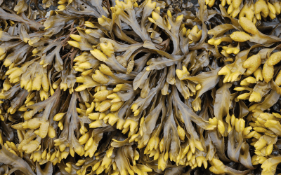 Episode 95 – Rockweed: underwater forest or industrial commodity?