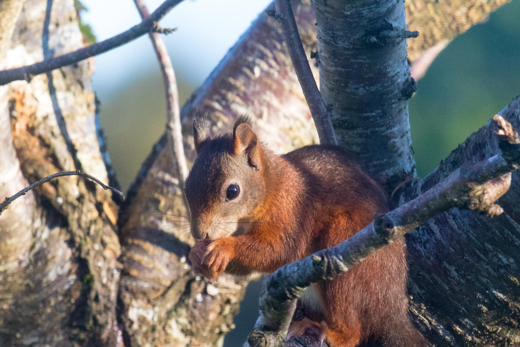 Red squirrel on Arran in garden of Quivive Cottage